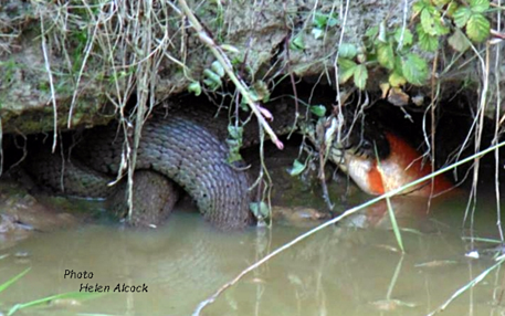Grass-snake-eating-a-goldfish-France