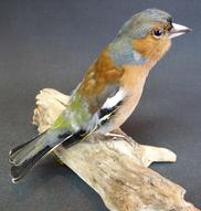 Adrian Johnstone, professional Taxidermist since 1981. Supplier to private collectors, schools, museums, businesses, and the entertainment world. Taxidermy is highly collectable. A taxidermy stuffed Chaffinch (9381), in excellent condition.