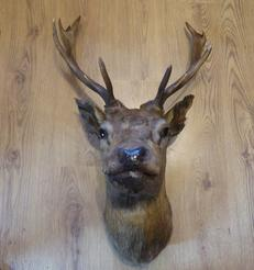 Adrian Johnstone, professional Taxidermist since 1981. Supplier to private collectors, schools, museums, businesses, and the entertainment world. Taxidermy is highly collectible. A taxidermy stuffed antique Red Stag Head, in excellent condition.