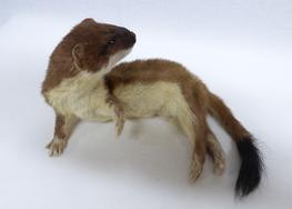 Adrian Johnstone, professional Taxidermist since 1981. Supplier to private collectors, schools, museums, businesses, and the entertainment world. Taxidermy is highly collectable. A taxidermy stuffed Stoat (648) in excellent condition. Mobile: 07745 399515 Email: adrianjohnstone@btinternet.com