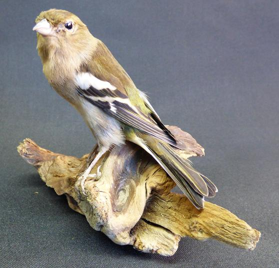 Adrian Johnstone, Professional Taxidermist since 1981. Supplier to private collectors, schools, museums, businesses and the entertainment world. Taxidermy is highly collectable. A taxidermy stuffed Chaffinch (9373), in excellent condition.
