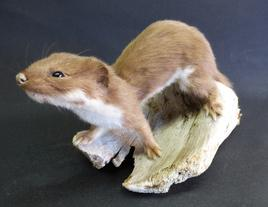 Adrian Johnstone, professional Taxidermist since 1981. Supplier to private collectors, schools, museums, businesses, and the entertainment world. Taxidermy is highly collectible. A taxidermy stuffed adult Weasel (27), in excellent condition.