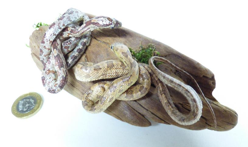 Adrian Johnstone, professional Taxidermist since 1981. Supplier to private collectors, schools, museums, businesses, and the entertainment world. Taxidermy is highly collectible. A taxidermy stuffed Two Corn Snakes (401), in excellent condition. Mobile: 07745 399515 Email: adrianjohnstone@btinternet.com