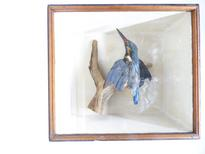 Adrian Johnstone, professional Taxidermist since 1981. Supplier to private collectors, schools, museums, businesses, and the entertainment world. Taxidermy is highly collectible. A taxidermy stuffed Kingfisher (52a), in excellent condition. Mobile: 07745 399515 Email: adrianjohnstone@btinternet.com