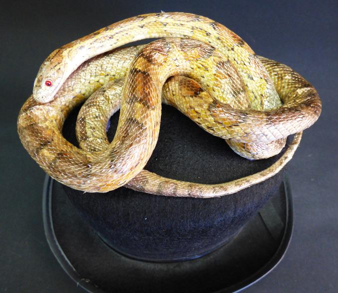 Adrian Johnstone, professional Taxidermist since 1981. Supplier to private collectors, schools, museums, businesses, and the entertainment world. Taxidermy is highly collectable. A taxidermy stuffed Corn Snake On Hat (69), in excellent condition.