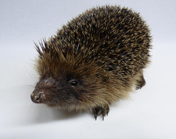 Adrian Johnstone, professional Taxidermist since 1981. Supplier to private collectors, schools, museums, businesses, and the entertainment world. Taxidermy is highly collectable. A taxidermy stuffed Hedgehog (629) in excellent condition. Mobile: 07745 399515 Email: adrianjohnstone@btinternet.com