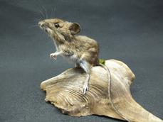 Adrian Johnstone, professional Taxidermist since 1981. Supplier to private collectors, schools, museums, businesses, and the entertainment world. Taxidermy is highly collectable. A taxidermy stuffed Field Mouse (237), in excellent condition.