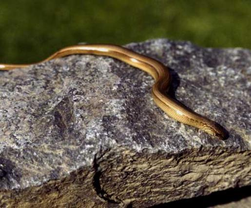 Slow-worm-on-a-rock-in-France