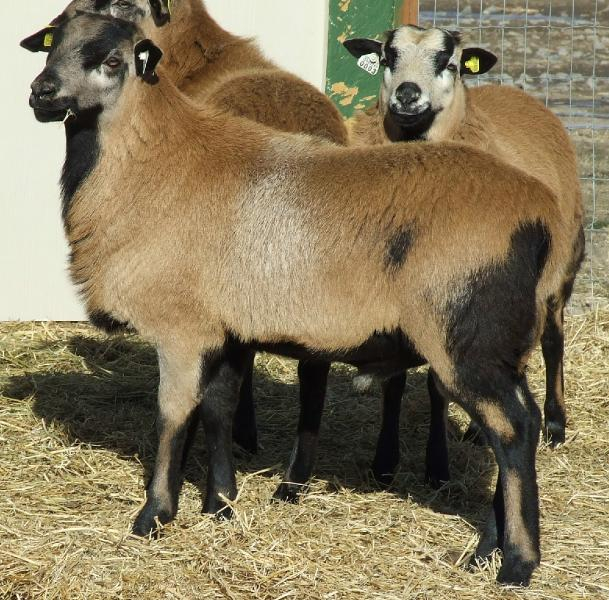 About Breedlove Barbados Blackbelly Sheep