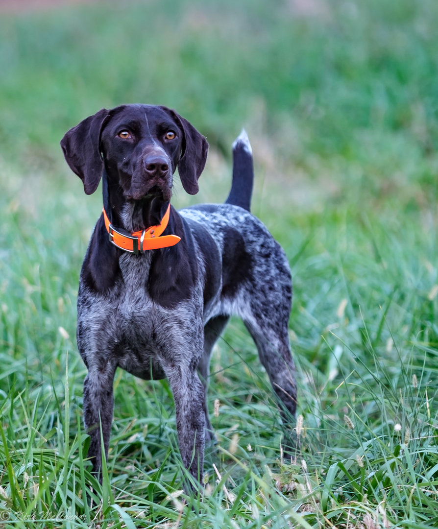 Pointing Dog Training & Hunting Dogs in Charlotte NC | Dog Years