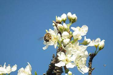 biodynamic bees are happily living on boraning