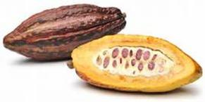 Cacao Fruit Tree Davie South Florida