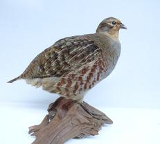 Adrian Johnstone, professional Taxidermist since 1981. Supplier to private collectors, schools, museums, businesses, and the entertainment world. Taxidermy is highly collectable. A taxidermy stuffed English Partridge (9838) in excellent condition.