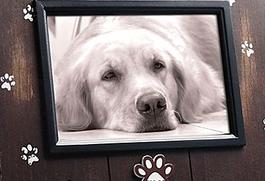 Black and white photo of golden retriever dog lying on floor with face looking into the camera. Brown wooden frame with silver paw prints all around.