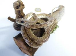Adrian Johnstone, professional Taxidermist since 1981. Supplier to private collectors, schools, museums, businesses, and the entertainment world. Taxidermy is highly collectible. A taxidermy stuffed Snake (79), in excellent condition. Mobile: 07745 399515 Email: adrianjohnstone@btinternet.com