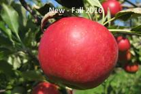 Rim's Edge Orchard Pick Your Own Sansa Apple