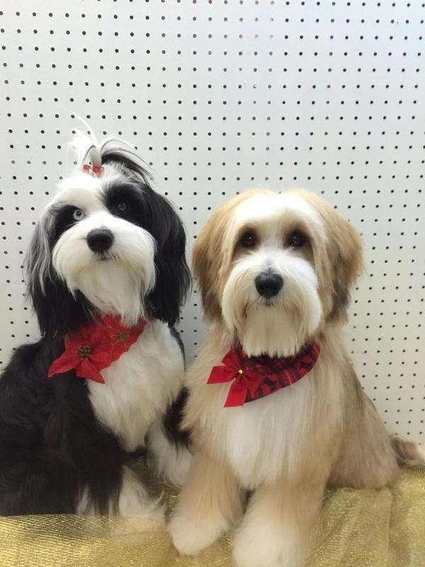 Tibetan Terrier Puppies For Sale Minneapolis Mn