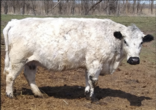 RLC Farms MN British White Cattle