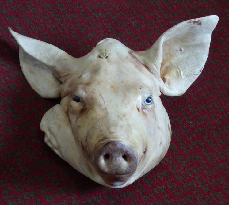 Adrian Johnstone, professional Taxidermist since 1981. Supplier to private collectors, schools, museums, businesses, and the entertainment world. Taxidermy is highly collectible. A taxidermy stuffed Pig Head (3), in excellent condition.