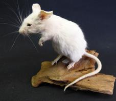 Adrian Johnstone, professional Taxidermist since 1981. Supplier to private collectors, schools, museums, businesses, and the entertainment world. Taxidermy is highly collectable. A taxidermy stuffed White Mouse (31), in excellent condition.