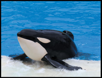 The Tragic Life of Tilikum is Coming to an End - He is Dying