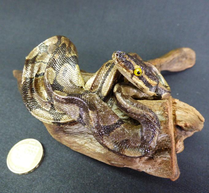 Adrian Johnstone, professional Taxidermist since 1981. Supplier to private collectors, schools, museums, businesses, and the entertainment world. Taxidermy is highly collectable. A taxidermy stuffed Python (61), in excellent condition.