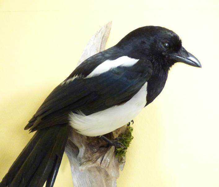 Adrian Johnstone, professional Taxidermist since 1981. Supplier to private collectors, schools, museums, businesses, and the entertainment world. Taxidermy is highly collectable. A taxidermy stuffed Magpie (9930) in excellent condition. Mobile: 07745 399515 Email: adrianjohnstone@btinternet.com