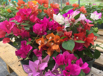 An array of colorful bougainvillea in shades of pink, coral, fuchsia, red and white inside a Cameo Farm growing house.