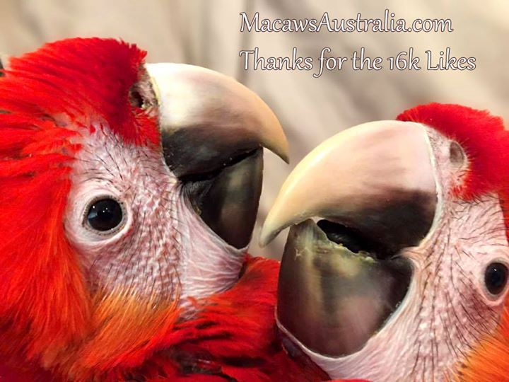 Scarlet Macaws for Sale Australia