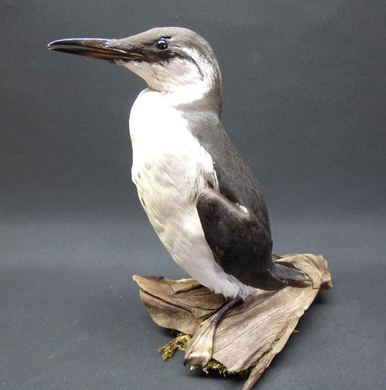Adrian Johnstone, professional Taxidermist since 1981. Supplier to private collectors, schools, museums, businesses, and the entertainment world. Taxidermy is highly collectable. A taxidermy stuffed adult Guillemot (8901), in excellent condition.