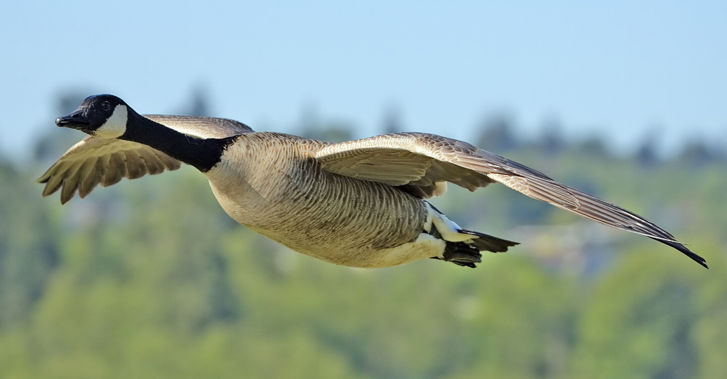 Geese Police of Western Pennsylvania PA Canada Goose in flight