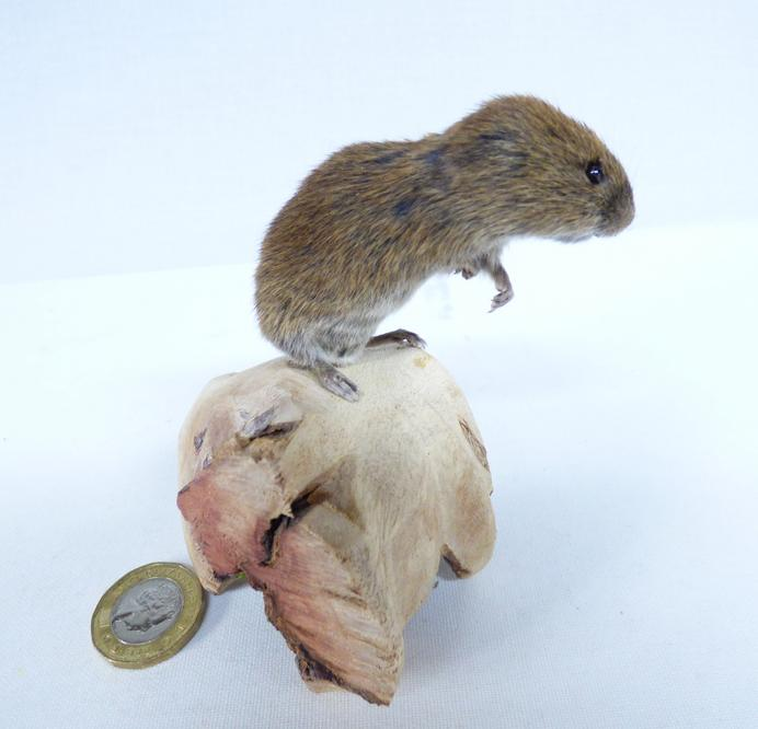 Adrian Johnstone, professional Taxidermist since 1981. Supplier to private collectors, schools, museums, businesses, and the entertainment world. Taxidermy is highly collectable. A taxidermy stuffed Short Tailed Field Vole (69), in excellent condition.