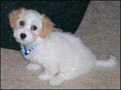 The Changing Colors of A Havanese