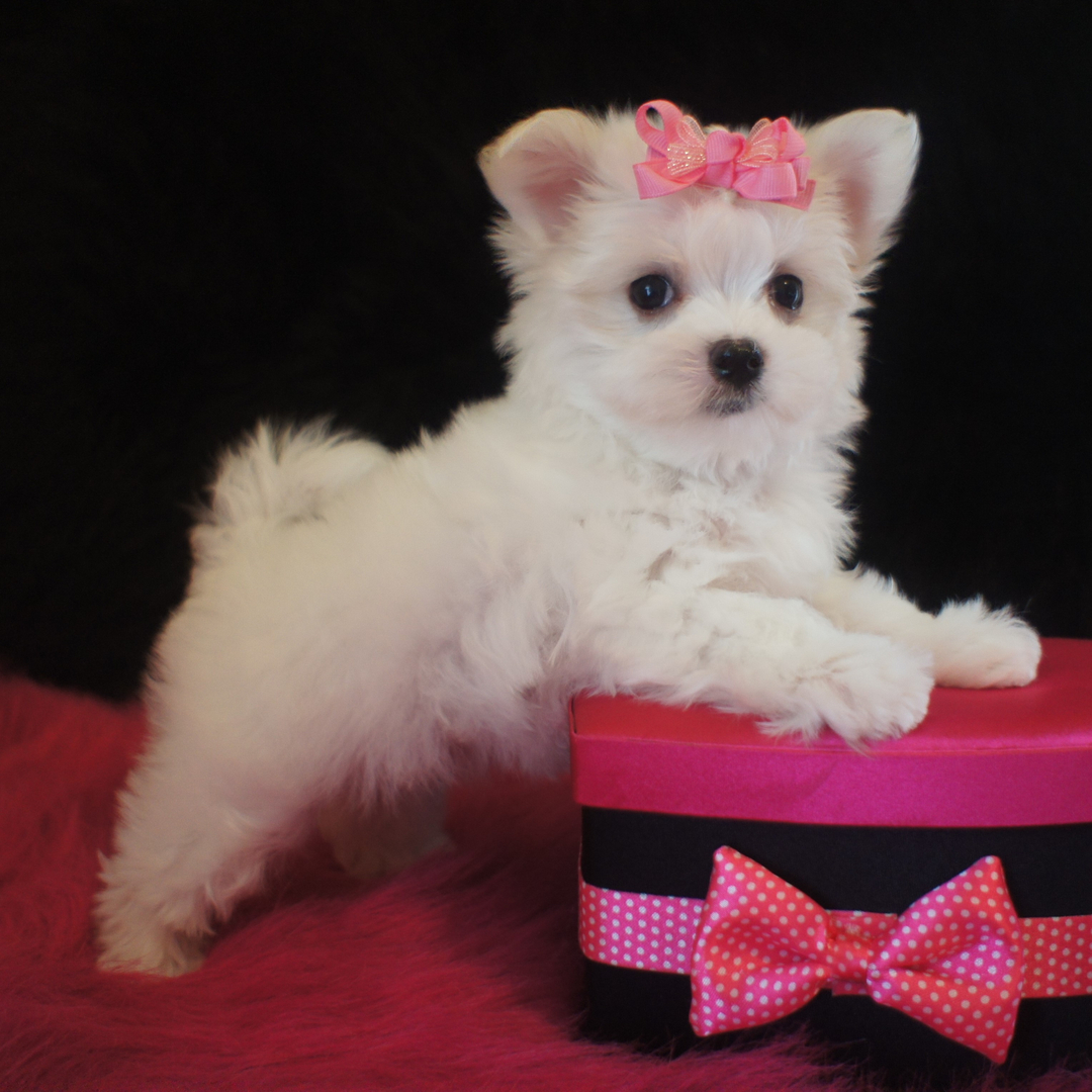 Adorable Puppies For Sale We Raise Adorable Yorkie And Maltese