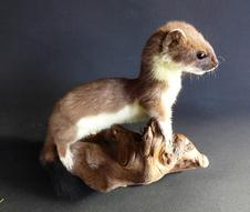 Adrian Johnstone, Professional Taxidermist since 1981. Supplier to private collectors, schools, museums, businesses and the entertainment world. Taxidermy is highly collectable. A taxidermy stuffed free standing young Stoat (85), in excellent condition.