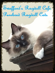 Ragdoll Kittens And Cats For Sale - Swafford's Ragdoll Cafe