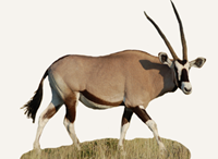Hunting Oryx South Africa