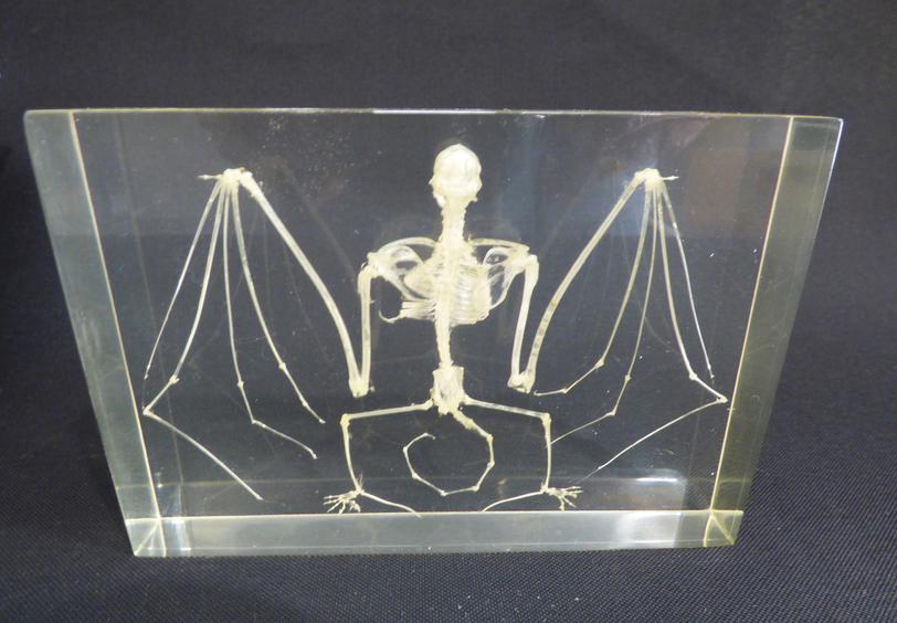 Adrian Johnstone, professional Taxidermist since 1981. Supplier to private collectors, schools, museums, businesses, and the entertainment world. Taxidermy is highly collectable. A taxidermy Bat Skeleton In Resin (1), in excellent condition.