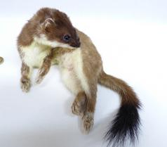 Adrian Johnstone, professional Taxidermist since 1981. Supplier to private collectors, schools, museums, businesses, and the entertainment world. Taxidermy is highly collectable. A taxidermy stuffed Stoat (669), in excellent condition. Mobile: 07745 399515 Email: adrianjohnstone@btinternet.com