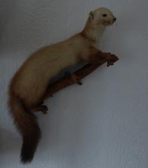 Adrian Johnstone, professional Taxidermist since 1981. Supplier to private collectors, schools, museums, businesses, and the entertainment world. Taxidermy is highly collectible. A taxidermy stuffed Beech Marten (1), in excellent condition.