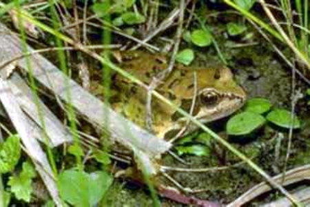 Common-frog-in-France