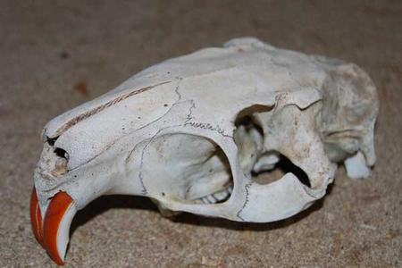 Coypu-skull-in-France