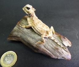 Adrian Johnstone, professional Taxidermist since 1981. Supplier to private collectors, schools, museums, businesses, and the entertainment world. Taxidermy is highly collectable. A taxidermy stuffed Horned Toad Lizard (12), in excellent condition.