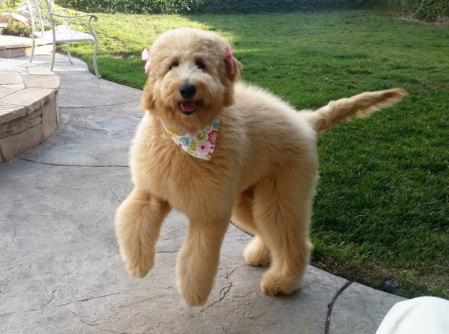 Beth's Little Treasures - Goldendoodle Puppies, Puppy Find