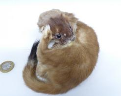 Adrian Johnstone, professional Taxidermist since 1981. Supplier to private collectors, schools, museums, businesses, and the entertainment world. Taxidermy is highly collectable. A taxidermy stuffed Stoat (618) in excellent condition. Mobile: 07745 399515 Email: adrianjohnstone@btinternet.com