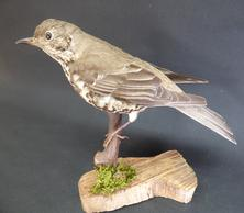 Adrian Johnstone, professional Taxidermist since 1981. Supplier to private collectors, schools, museums, businesses, and the entertainment world. Taxidermy is highly collectable. A taxidermy stuffed adult Mistle Thrush (9471a), in excellent condition.
