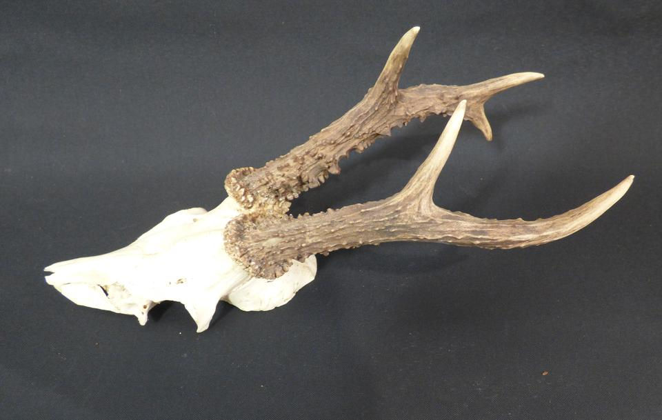 Adrian Johnstone, professional Taxidermist since 1981. Supplier to private collectors, schools, museums, businesses, and the entertainment world. Taxidermy is highly collectable. Roe Deer Antlers (set 3) in excellent condition.