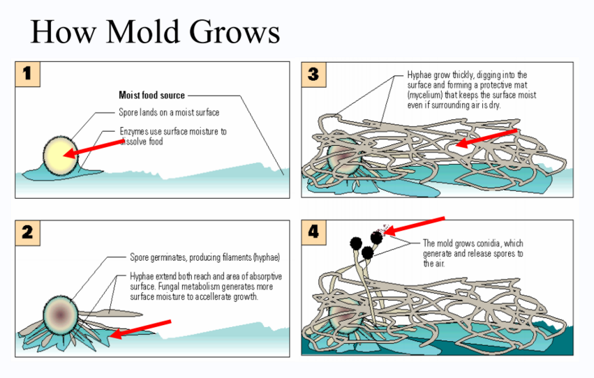How does mold grow