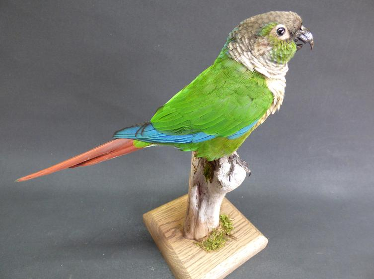 Adrian Johnstone, Professional Taxidermist since 1981. Supplier to private collectors, schools, museums, businesses and the entertainment world. Taxidermy is highly collectable. A taxidermy stuffed Green Cheeked Conure (520fb) in excellent condition.