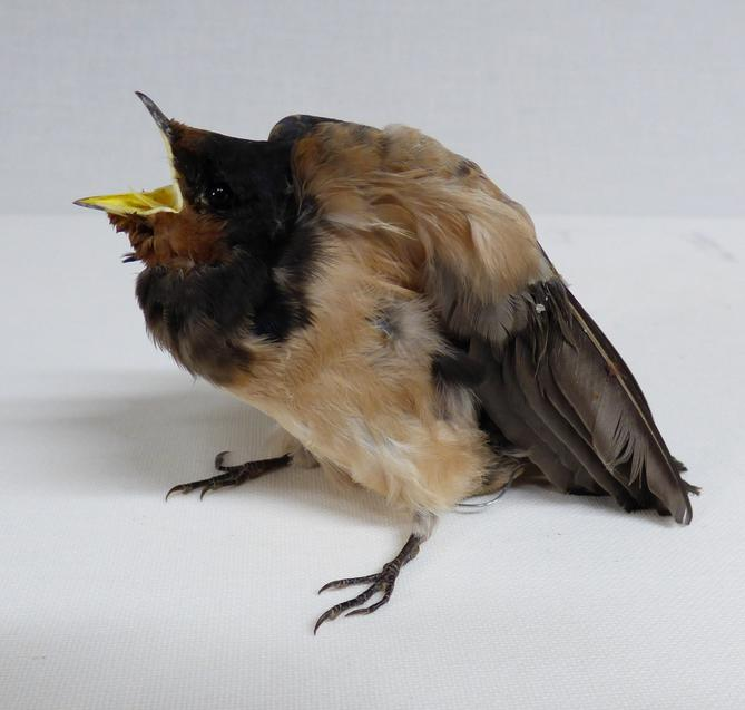 Adrian Johnstone, professional Taxidermist since 1981. Supplier to private collectors, schools, museums, businesses, and the entertainment world. Taxidermy is highly collectible. A taxidermy stuffed Swallow Chick (43) in excellent condition.